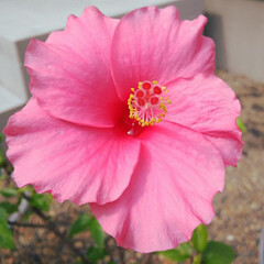 住まい/暮らし/LIMIAな暮らし/ピンク/可愛すぎる/ずっと見ていたい 我が家のハイビスカス🌺  可愛く咲いてい…
