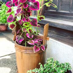 寄せ植え/簡単/夏インテリア/お庭あそび/ベランダ遊び/七夕インテリア/... うちの蔵の中にホコリまみれになっている手…