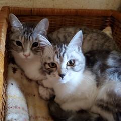 保護猫/猫部/猫好き/猫と暮らす/猫のいる暮らし/子猫/... ① 仲良し グランとはにや💓💞  ② 庭…