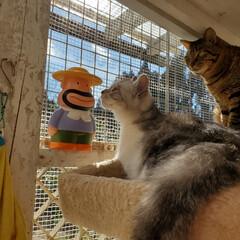 猫好きさんと繋がりたい/猫好き/保護猫/猫のいる暮らし/猫と暮らす/ねこ/... 昨日は ポカポカ陽気でした☀ カールおじ…