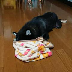 エリザベスカラー/わんこ同好会/去勢手術/黒柴/柴犬/成長期/... 黒柴 レオ♂🐕 8ヶ月 昨日やっと、抜糸…