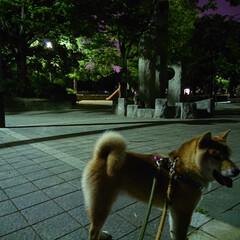 柴犬/リルク/誕生日/1歳/散歩/人気の少ない時間/... 最近は 人が少ない時間を選んで、散歩する…
