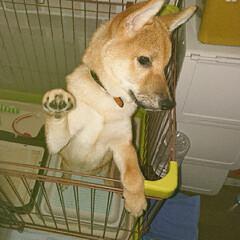 食いしん坊/犬との生活/わんこ同好会/犬大好き/柴犬/赤柴/... 赤柴 リルク♂ 5ヶ月 おやつの要求 こ…