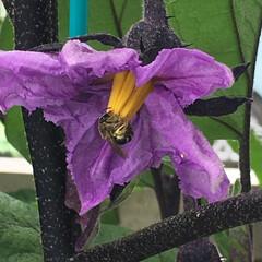 れき太郎/ベランダ菜園/家庭菜園/礫耕栽培/ナス れき太郎システムで育てているナスの花にミ…