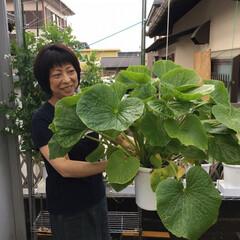 れき太郎/ベランダ菜園/家庭菜園/礫耕栽培 れき太郎システムで栽培した山葵です。 思…