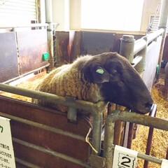 士別市/世界のめん羊館/サフォーク/セーター サフォーク種の羊とご対面。 世界中の珍し…