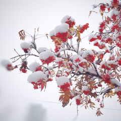 今日のお散歩/ナナカマド/雪/赤い/白い/風物詩/... 今日のお散歩。 赤いナナカマドの実に白い…