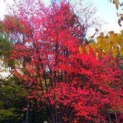 今日の散歩/紅葉/赤/オレンジ/黄色/黄金色/... 今日の散歩。 紅葉を楽しみながら散策。 …