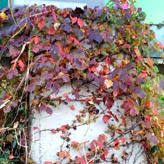 秋の一枚。/季節の変わり目/ツタ/赤い色/秋 秋の一枚。 ツタも赤くなってきましたね。…(1枚目)