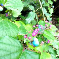 秋の一枚。/風景/野ブドウ/秋 野ブドウ。 紫、ピンク、ブルーと宝石のよ…