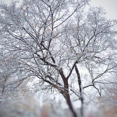 今日のお散歩/雪/銀世界/雪の花/冬/季節/... 今日のお散歩。 早すぎる雪の到来で、一気…(1枚目)