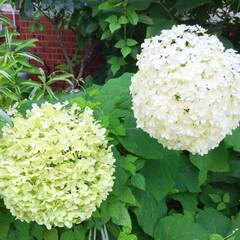 夏の散歩/風景/花/紫陽花/大輪/綺麗 お散歩で見つけた花。 あまりに大輪の紫陽…