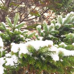 今日のお散歩/枝の上に雪/天然/クリスマスツリー/景色 今日のお散歩。 枝の上に雪が積もって ま…