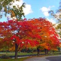 今日のお散歩/公園/散策/もみじ/空 今日のお散歩。 もみじの赤い色は秋ならで…