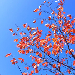 今日の空/紅葉/秋の空/天気/秋のお散歩 今日の空。 紅葉が街中にも降りてきました…