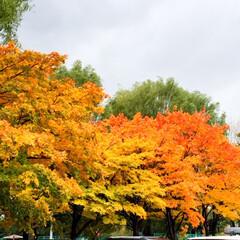 秋の一枚。/公園の木々/街中にも秋/秋 秋の一枚。 公園の駐車場の木々が色鮮やか…