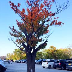 風景/秋の一枚/駐車場にも秋/落葉/秋 秋の一枚。 駐車場で秋を見つけました。 …