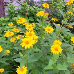 夏の散歩/花/黄色/元気が出る お散歩で見つけた花。 元気に咲いているの…