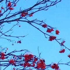 冬の一枚/街路樹/ナナカマド/雪/冬 冬の一枚。 街路樹のナナカマドに積もった…