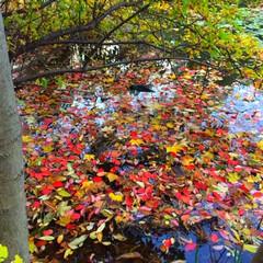 今日の散歩/紅葉/秋の景色/池/落葉/キレイ 今日の散歩。 池の中にも紅葉が。 色とり…