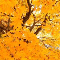秋の一枚。/景色/紅葉/黄色/秋 秋の一枚。 もみじ、こうよう、と入力する…