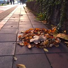 今日のお散歩/歩道/落葉/掃除/風 今日のお散歩。 「誰か掃除でもしてくれた…(1枚目)