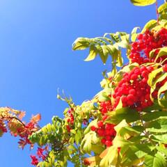 今日の空/散歩/青空/ナナカマド/真っ赤な実 今日の空。 雲一つない空に、ナナカマド。…