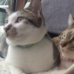 兄妹猫/息ぴったり/とにかくかわいい!/うちの子自慢 同じところ見てなに見てるのかな? 鳥さん…