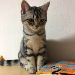 マンチカン/ねこ/猫/LIMIAペット同好会/にゃんこ同好会/うちの子ベストショット お利口さんに座ってるね(♥ω♥*)