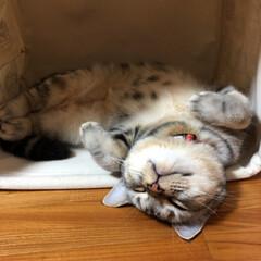 猫/ねこ/マンチカン/LIMIAペット同好会/にゃんこ同好会 気持ちよく寝てたのに、 何だよ ( °o…