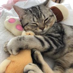 猫/ねこ/マンチカン/LIMIAペット同好会/にゃんこ同好会/うちの子ベストショット けりぐるみは枕へ(^ω^) 抱っこしてる…