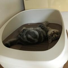 ねこ/猫/マンチカン/LIMIAペット同好会/にゃんこ同好会/うちの子ベストショット デオトイレ大きかったので、まだ使わずタン…