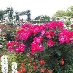 「横浜の山下公園で開催されていたバラ園。 …」(2枚目)
