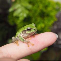 カエル/かえる/ビオトープ カエルさん