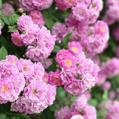 ローズガーデン/ナチュラルガーデニング/お花屋さん/花屋/庭のある暮らし/バラ お花屋さんとイタリアンレストランが併設さ…(2枚目)