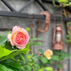 庭作り/ガーデン 雑貨/ペッシュボンボン/花のある暮らし/バラ/naturalgarden/... 令和元日こんばんは♬ お庭のペッシュボン…