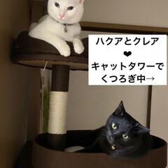 怖い顔/あくび猫/キャットタワー/愛猫/我が家の家族/住まい/... 愛猫のハクアとクレア❤︎ キャットタワー…