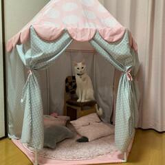 黒猫/白猫/愛猫/我が家の家族/住まい/おすすめアイテム/... 我が家の愛猫。 ハクア❤︎クレア