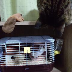 フォロー大歓迎/にゃんこ同好会/ハムスター/キジトラ/猫/ネコ/... 最近わが家に来たハムスターの♀の大福です…