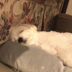 マルチーズ (ㅅ˘ㅂ˘)good night♥