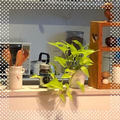 観葉植物/ライムポトス ライムポトス♩ 以前は2年で枯らしてまし…