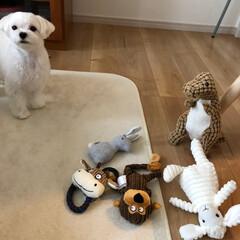 Amazon/おもちゃ/マルチーズ/北欧 Amazonから犬のおもちゃ5packが…