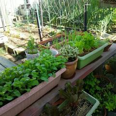 家庭菜園 家庭菜園、 ナスビ、シシトウ、ゴーヤ、 …(2枚目)
