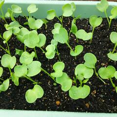 家庭菜園 冬の家庭菜園🎵 今から大根の間引きです、…