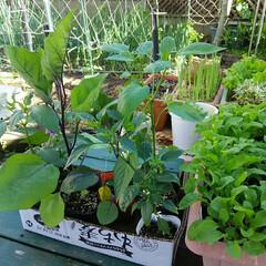 家庭菜園 家庭菜園、 ナスビ、シシトウ、ゴーヤ、 …
