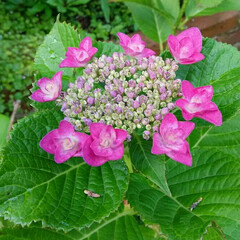 ガーデニング/ブルーベリー/アジサイ アジサイ咲き始め🎵 ブルーベリーも色付き…