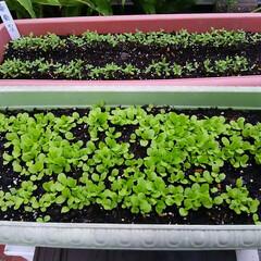 家庭菜園 冬の野菜の種🎵 タネまきしたのが芽が出て…