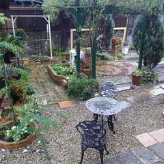 ガーデニング/ミモザ 今日の庭  雨が降っているのでリビングか…