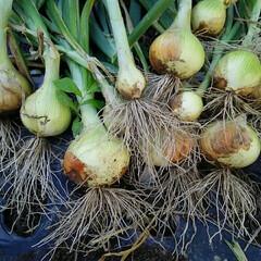 家庭菜園 新玉ねぎ収穫~ 今年の出来は 80点、 …