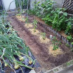 家庭菜園 家庭菜園🎵 苗を植えました、 ゴーヤ  …